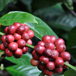 essential oil coffee 2