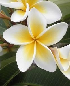 essential oil frangipani