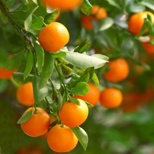 Essential Oil Mandarin 2