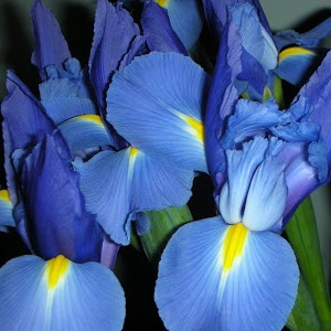 Orris Absolute Oil Iris