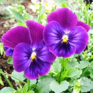 Violet Leaf Absolute Oil 1