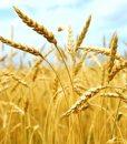 Wheatgerm Oil_Wheat