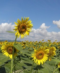 sunflower oil field