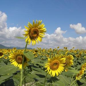 sunflower oil field