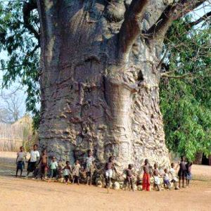 Baobab oil tree 4