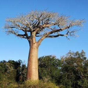 baobab oil tree 5