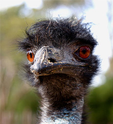 Emu Oil Emu Face