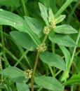 Essential oil Euphorbia 1