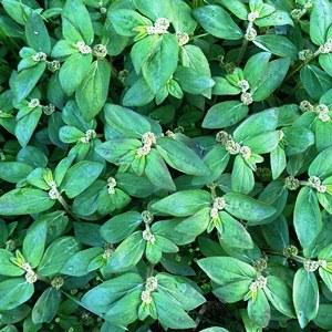 Essential oil Euphorbia 2
