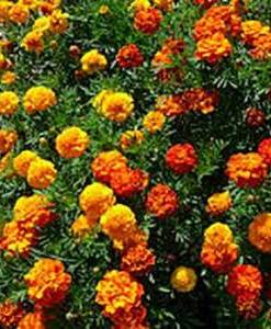 Essential oil Tagetes 2