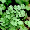 essential oil coriander 2