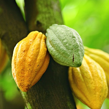 cocoa absolute pod