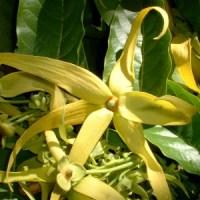 essential oil cananga