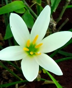 essential oil ginger lily white