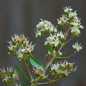 essential oil henna flower