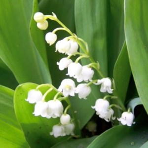 essential oil muguet 2