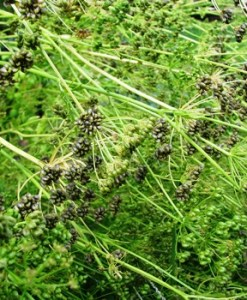 essential oil parsley seeds