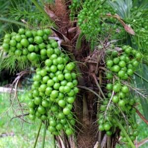 essential oil pimento berry 2