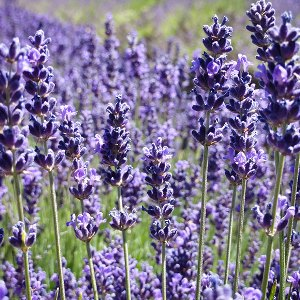 essential oil spike lavender 2