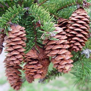 essential oil spruce 2