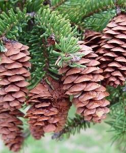 essential oil spruce 2