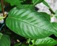 kratom_maeng_da_leaf