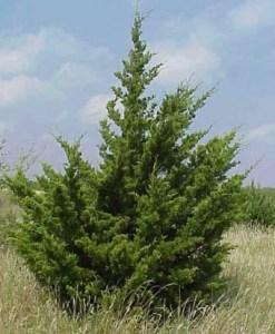 Essential Oil Cedarwood Texas 1