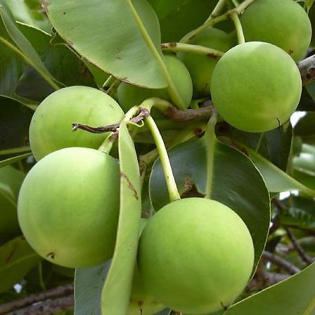 Tamanu Oil Fruit