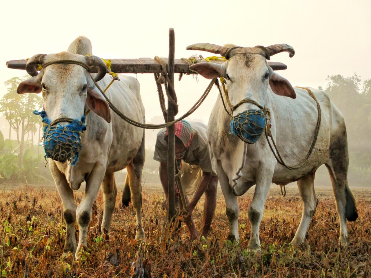 a yoke of oxen