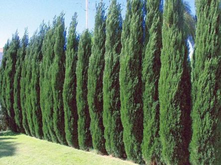 Awesome Fence With Evergreen Plants Landscaping Ideas 4