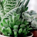 Beauty succulents for houseplant indoor decorations