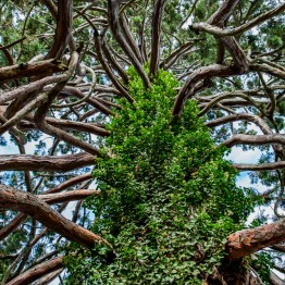 Redwood, Botanic garden, Christchurch