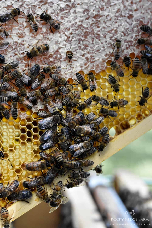 Honeybee Larva