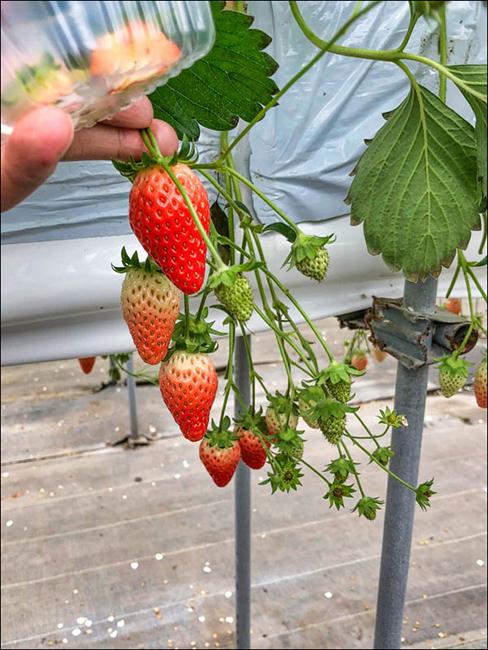日本採草莓 初體驗 近東京成田 観光いちご園 いちごの杜 8