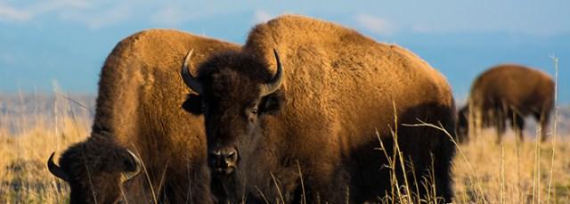 Colorado Bison © Raferrier | Dreamstime.com - <a href=