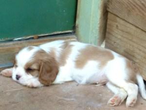 sleeping pup
