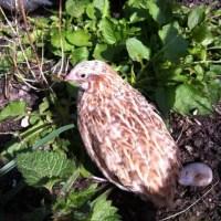 A quail enjoying some early spring sunshine