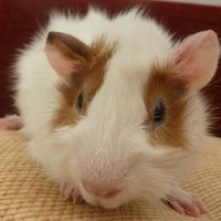 Handsome the guinea-pig, such a friendly guy!