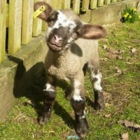 Upton the most photogenic lamb and now superstar Ewe