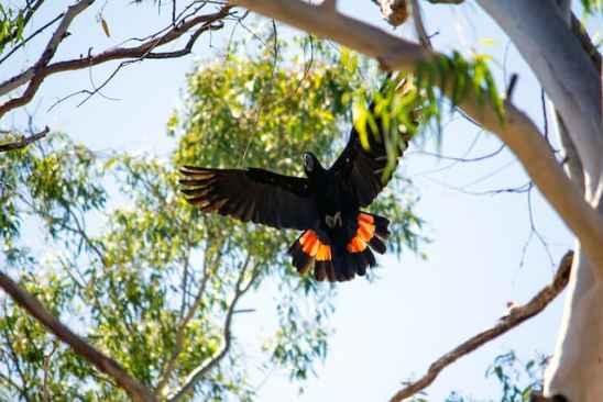 Red-tailed Black Cockatoo-Kimberley