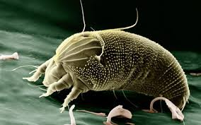 Dust Mites in Carpets