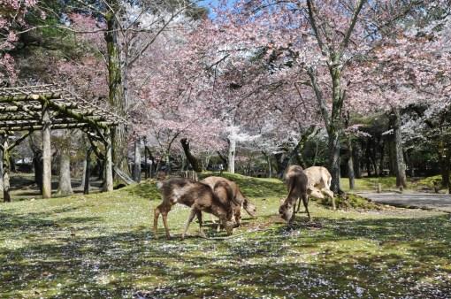 Nara i jelonki