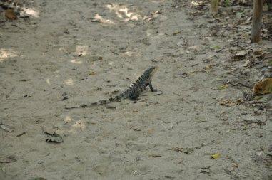 Iguana w Parku Narodowym Manuel Antonio