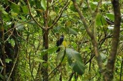 Ptaki w lasach chmurowych Monteverde