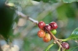 Ziarna Kawy na krzaku w Kostaryce