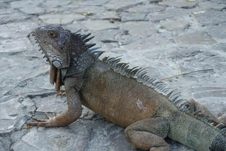 Super iguana w Ekwadorze