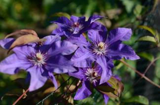 early clematis