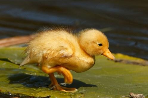 Mallard Anas platyrhynchos Mallard duckling baby cute overload