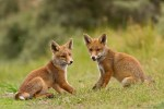 cub red fox baby vulpes vulpes young brother sister sibblings