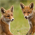 Young fox cubs / kits